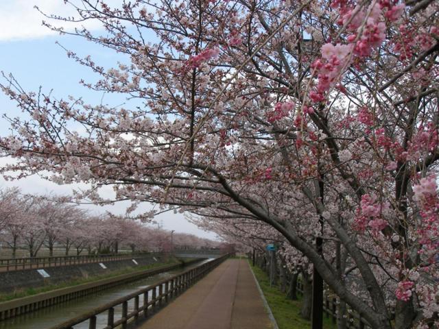 愛知の桜ネックレス
