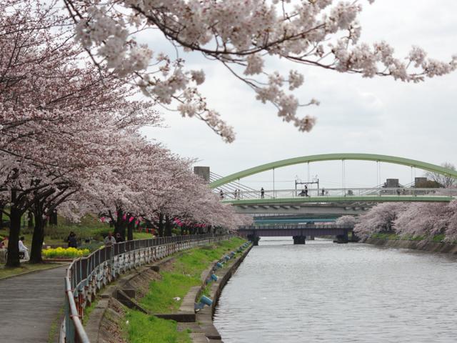 荒子川の桜