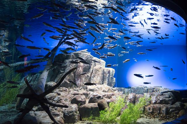 千歳水族館の支笏湖水槽