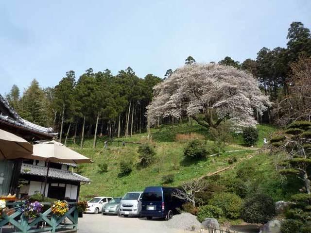 松国の一本桜