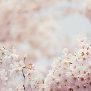 本命星が導く運勢のバイオリズム【桜の季節・4月(4/4~5/4)の幸せ】