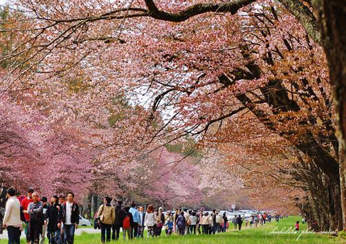 北海道の二十間道路桜並木