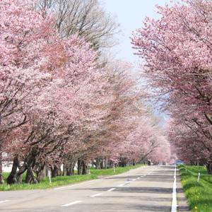 【北海道編】桜の名所10選。GWは家族でお花見に出かけよう!